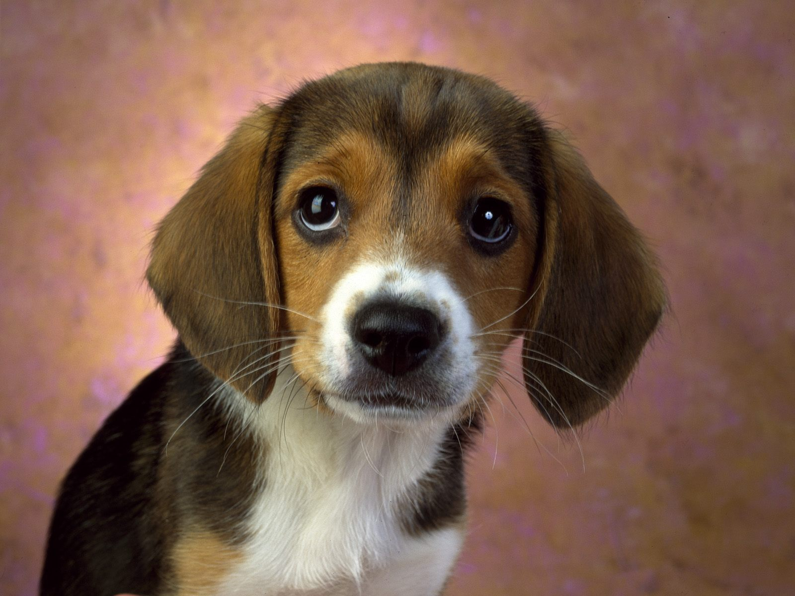 Beagle puppy dog :)