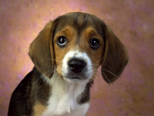 Hound Dogs wallpaper probably with a beagle called Beagle puppy dog :)