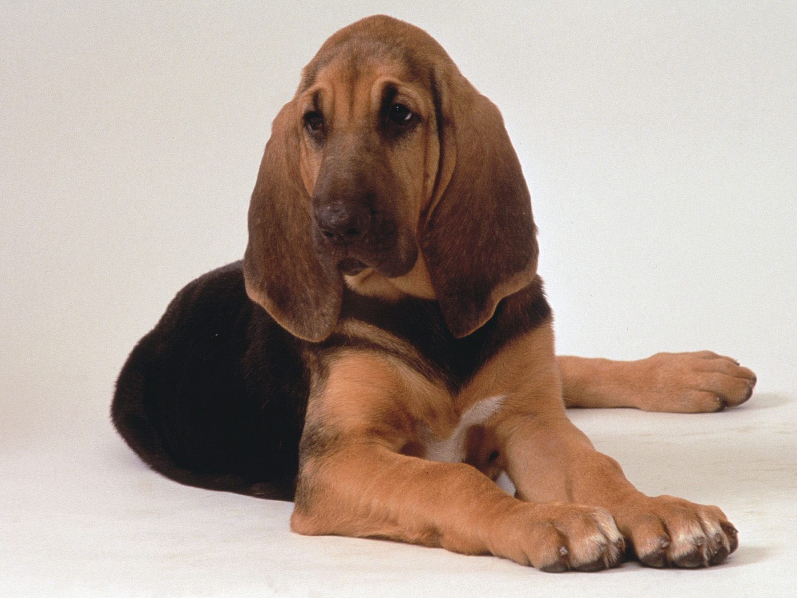 Picture Of A Bloodhound Dog