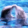 Dolphins - animals Icon