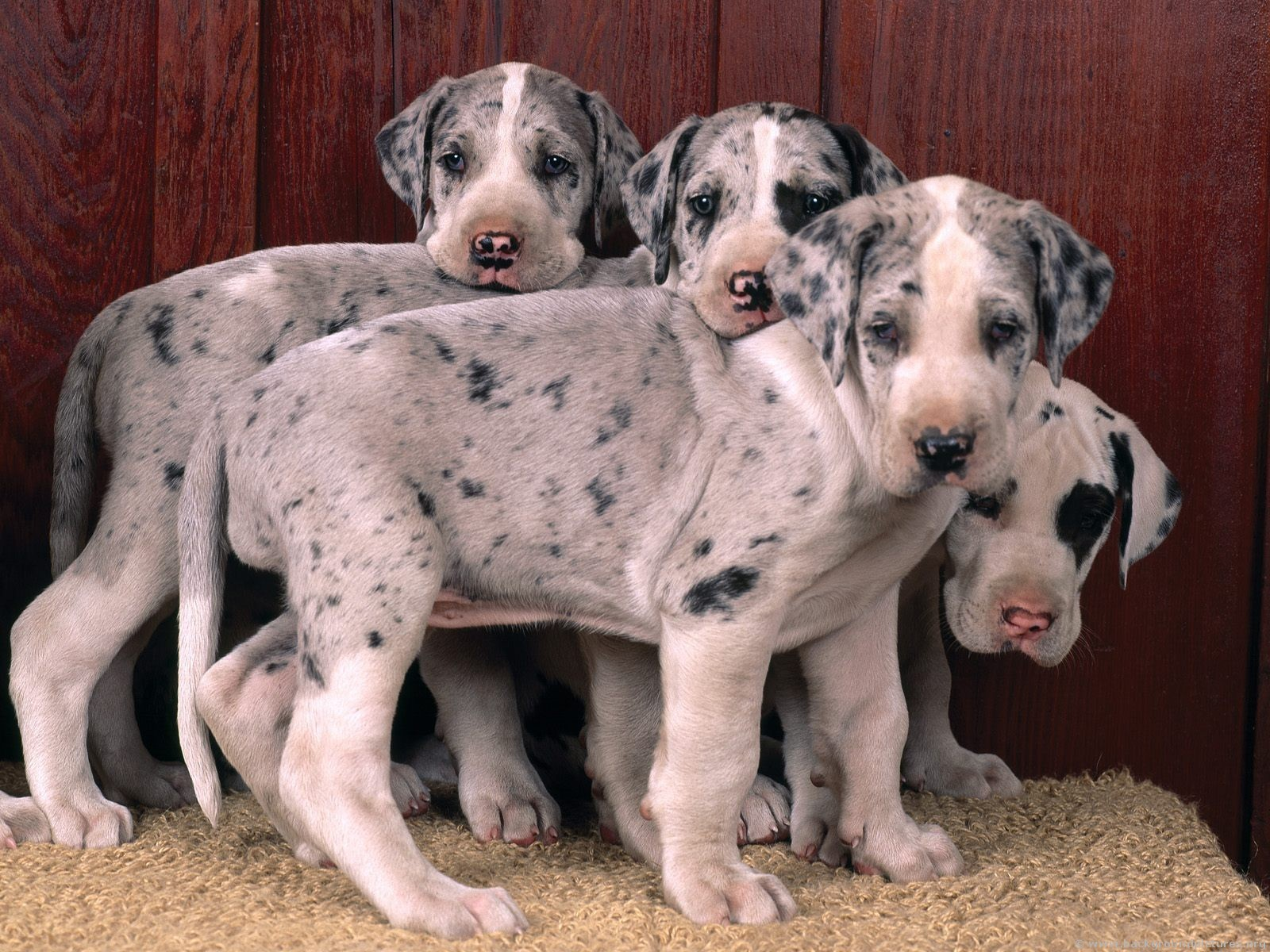 Great Dane puppies - Great Danes Photo (15342697) - Fanpop fanclubs