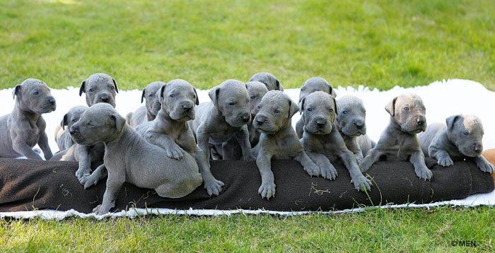 Great Dane puppies - Great Danes Photo (15342699) - Fanpop fanclubs