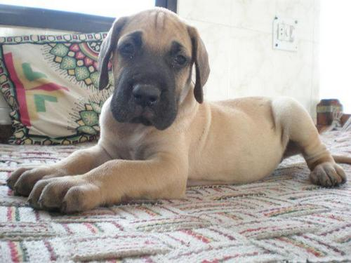 Great Dane chiot