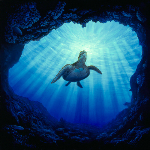 Kauai~The Garden Island wallpaper with a green turtle and a hawksbill turtle called Kauai Underwater
