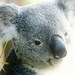 Koala Bear - animals icon