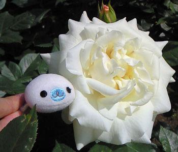 Mamegoma fleur