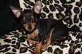 Prazsky Krysarik  - all-small-dogs photo