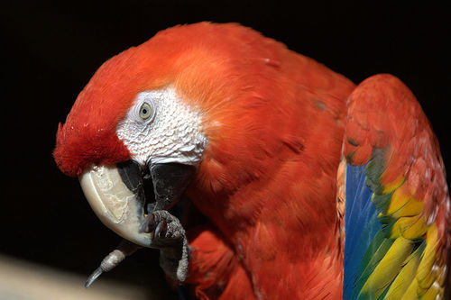 Scarlet एक प्रकार का तोता, एक प्रकार का वृक्ष