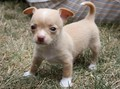 Baby Tiny - chihuahuas photo