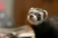 Ferret! - ferrets photo