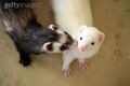 Ferret kisses!