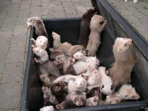 Lots of ferrets!