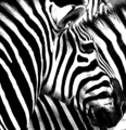 Zebra at Rheine Zoo