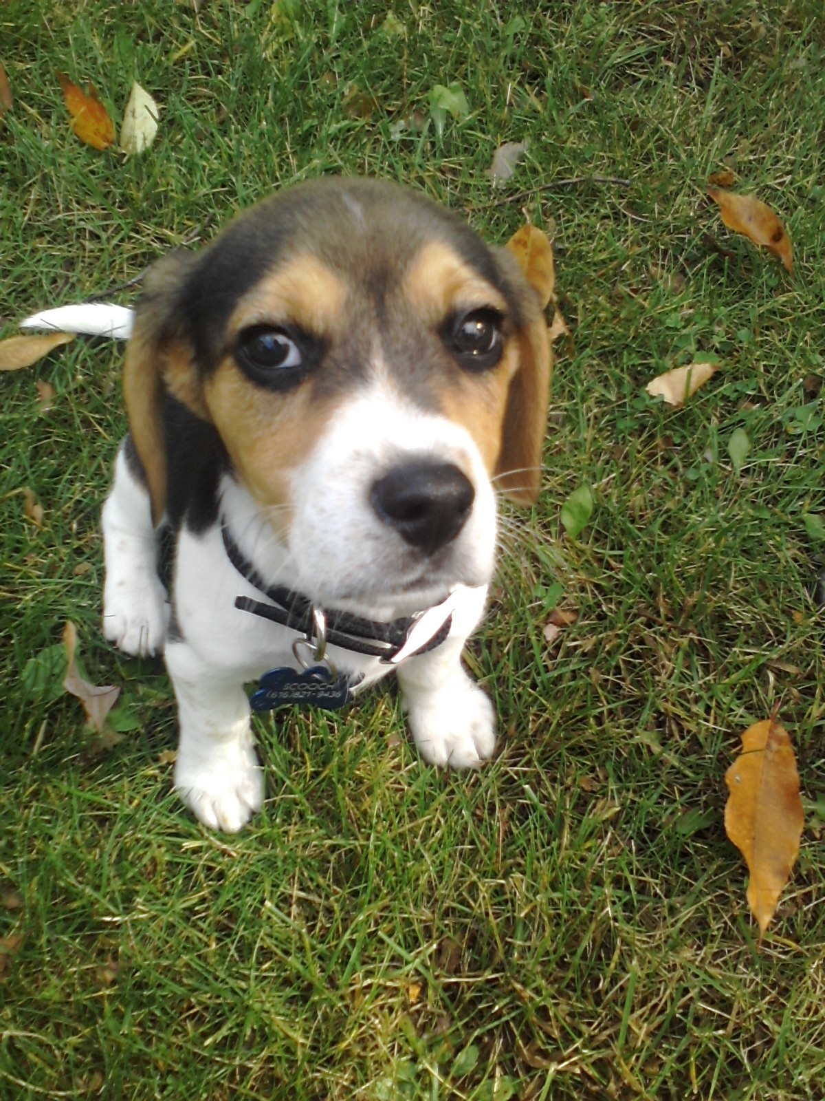 beagle pup dogs photo 15515222 fanpop