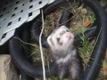 Miku is The cutest &lt;3 - ferrets photo