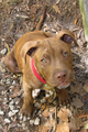 Young Mr. Boots - pit-bulls photo