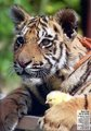 Tiger Baby with Chick - animal-planet photo