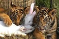 Tiger Babys with a Rabbits