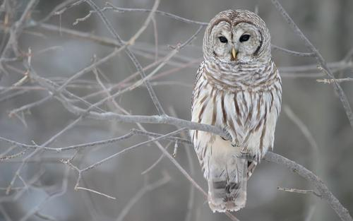 Barred Owl :>