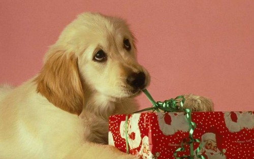 Puppies wallpaper possibly with a golden retriever entitled Christmas Puppy