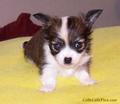 Cute chihuahua cucciolo