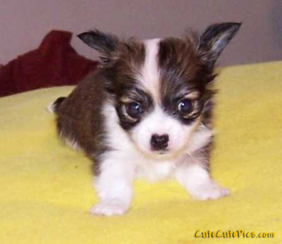 Chihuahuas images Cute Chihuahua Puppy wallpaper and background photos