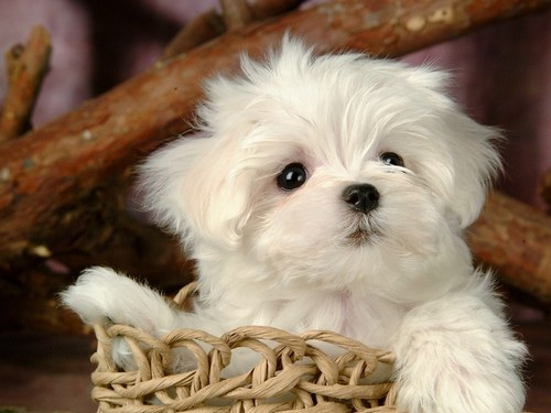 Puppies Wallpaper With A Maltese Dog Entitled Cute Puppy