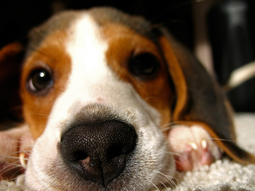 Puppies wallpaper with a beagle titled Cute Puppy