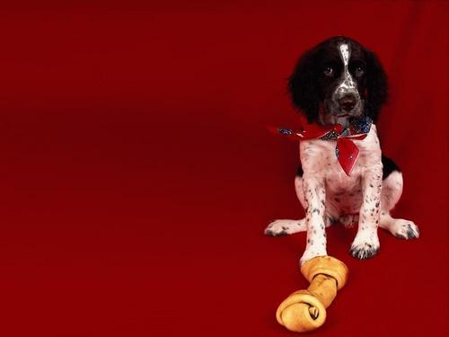 Puppies wallpaper probably containing a springer spaniel and an english springer entitled Cute Puppy