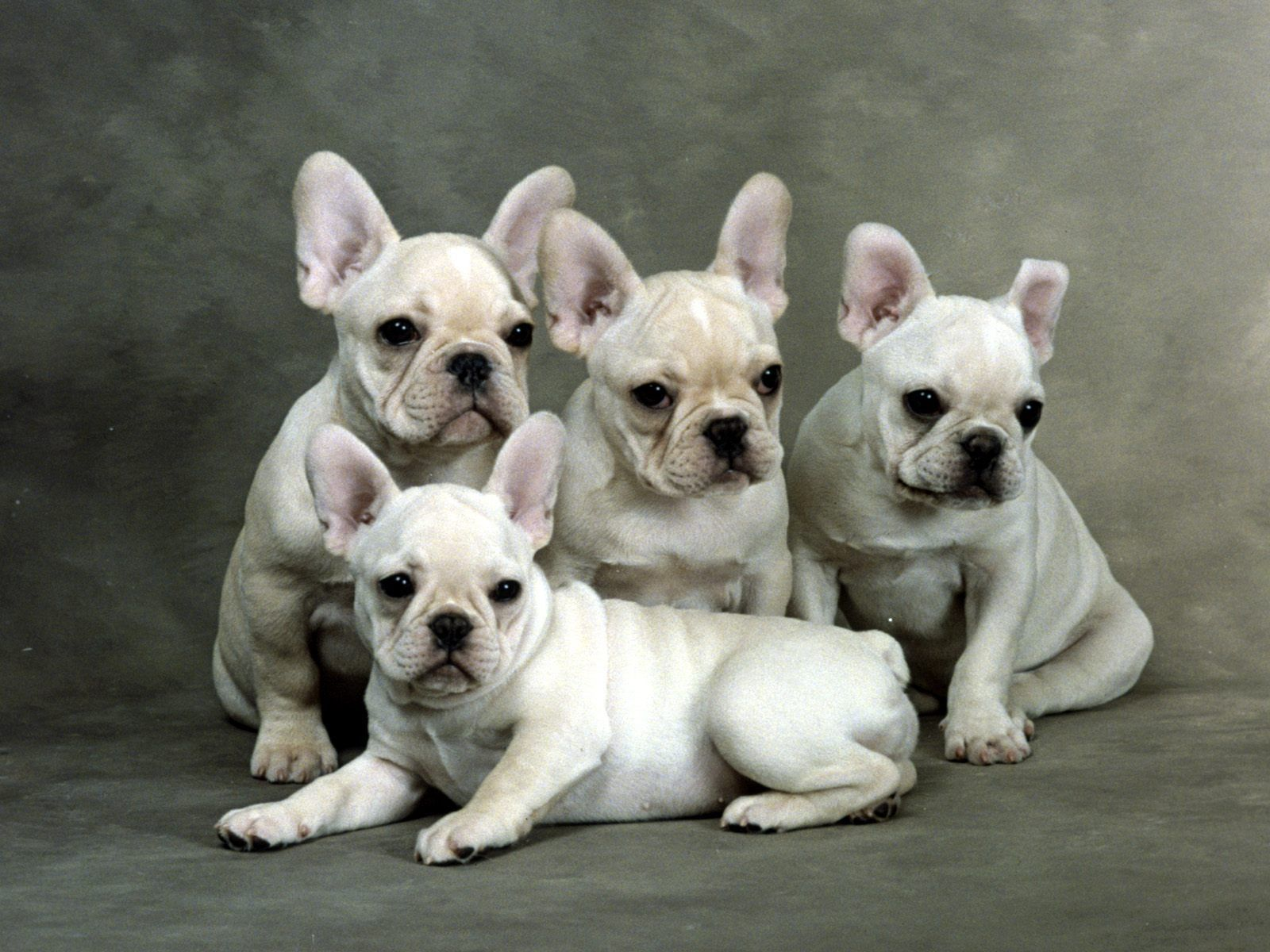 Cute French Bulldog Puppies Wallpapers