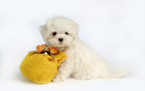 Puppies wallpaper with a maltese dog titled Cute Puppy