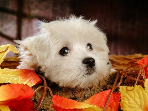 Puppies wallpaper possibly with a maltese dog called Cute Puppy