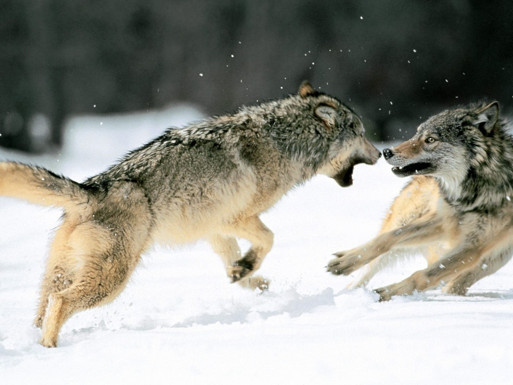 tribe of hunting wolfs images Fighting Wolves HD wallpaper ...