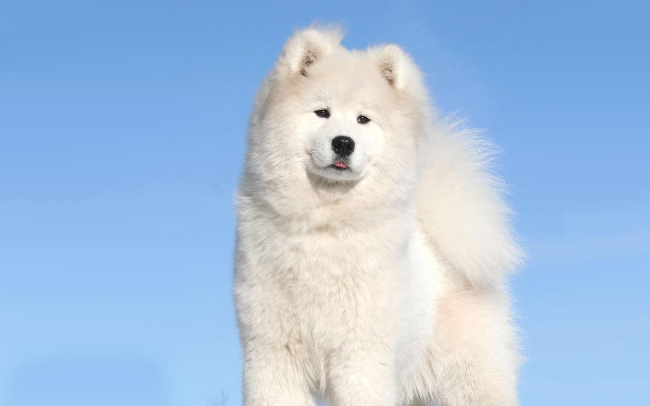 North Greenland Puppy Dog