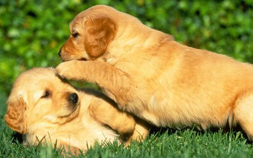 Puppies wallpaper possibly with a golden retriever titled Puppy Power...