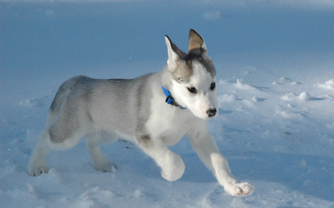 Cute Husky Puppy Wallpaper