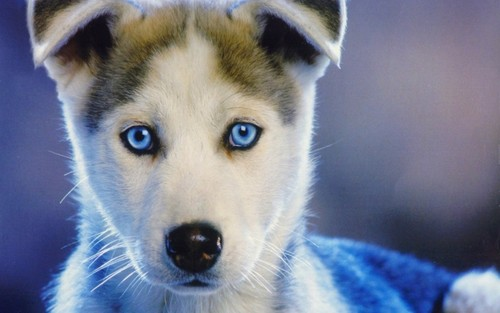 Puppies wallpaper called Siberian Husky Puppy