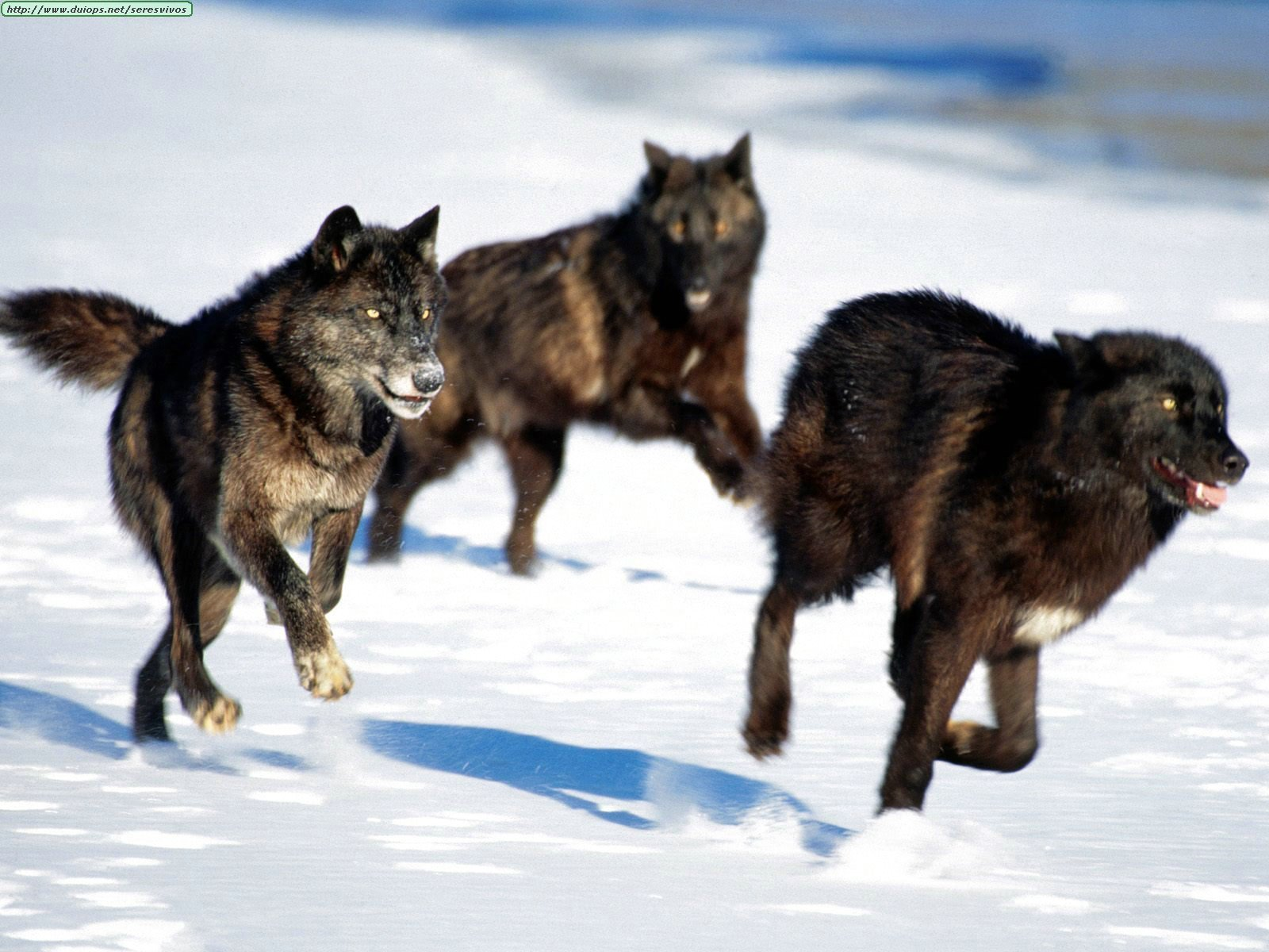 tribe of hunting wolfs Wolves