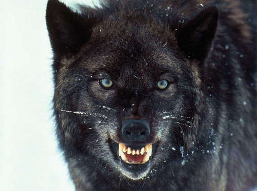 Black Wolf - wolves Photo