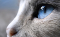 cats - Beautiful Cat wallpaper