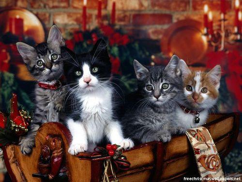 圣诞节 Cat