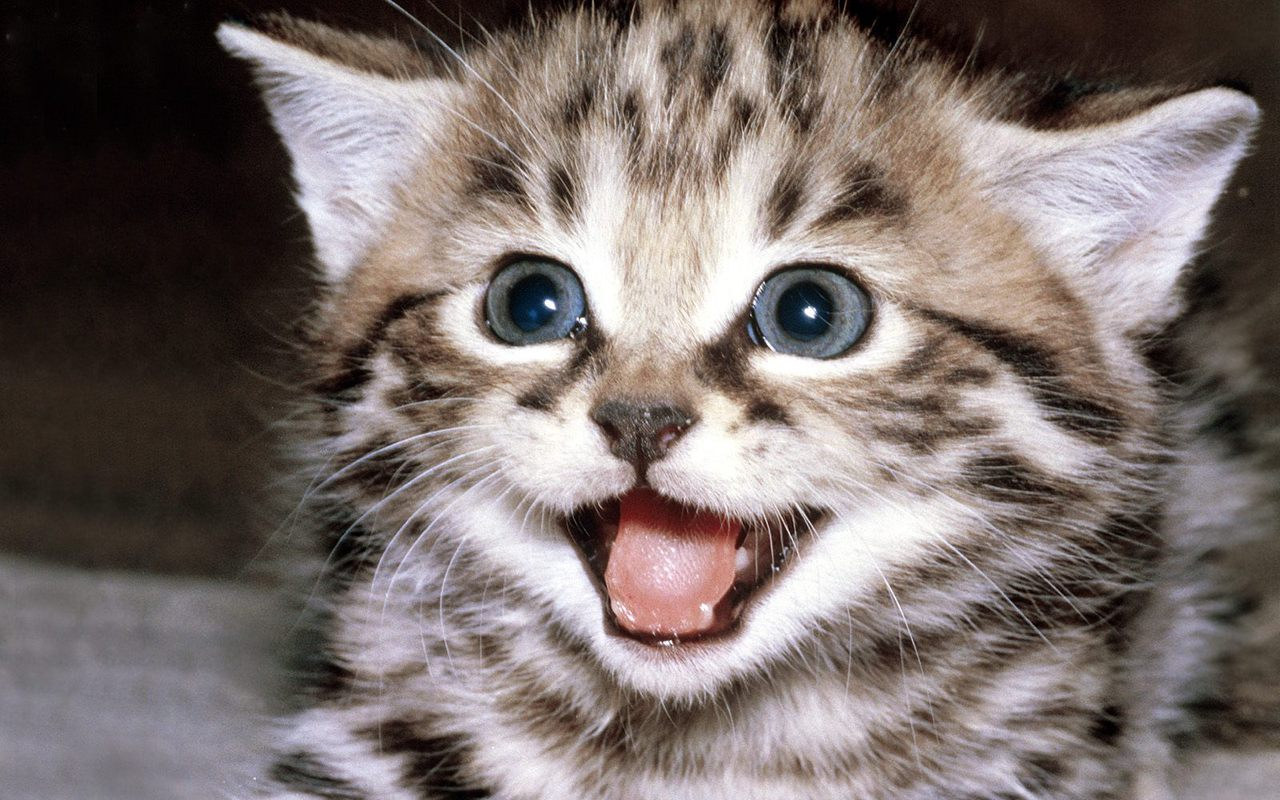 Kittens images Cute Kitten Wallpaper HD wallpaper and background photos