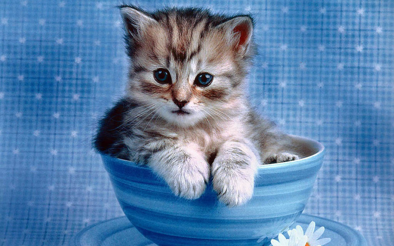 cute kitten wallpaper kittens wallpaper 16094683 fanpop