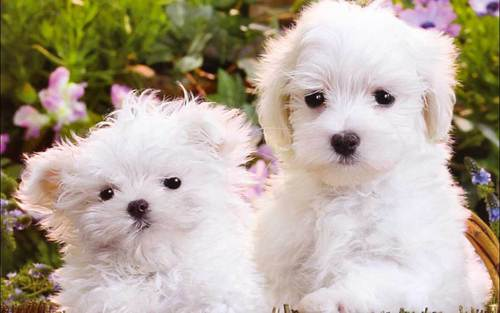 Puppies Wallpaper Probably With A Maltese Dog Titled Cute