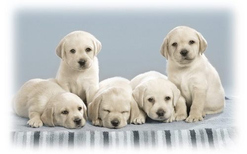 Puppies wallpaper possibly containing a golden retriever and a labrador retriever entitled Cute Puppies