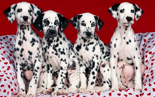 Puppies wallpaper containing a dalmatian titled Cute Puppies