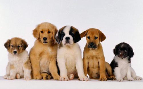 Puppies wallpaper titled Cute Puppies