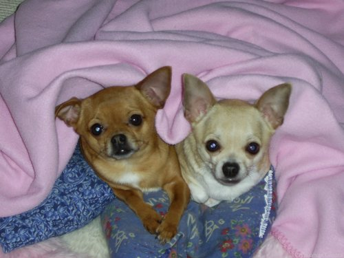 Chihuahuas 壁紙 containing a チワワ entitled Lovely チワワ