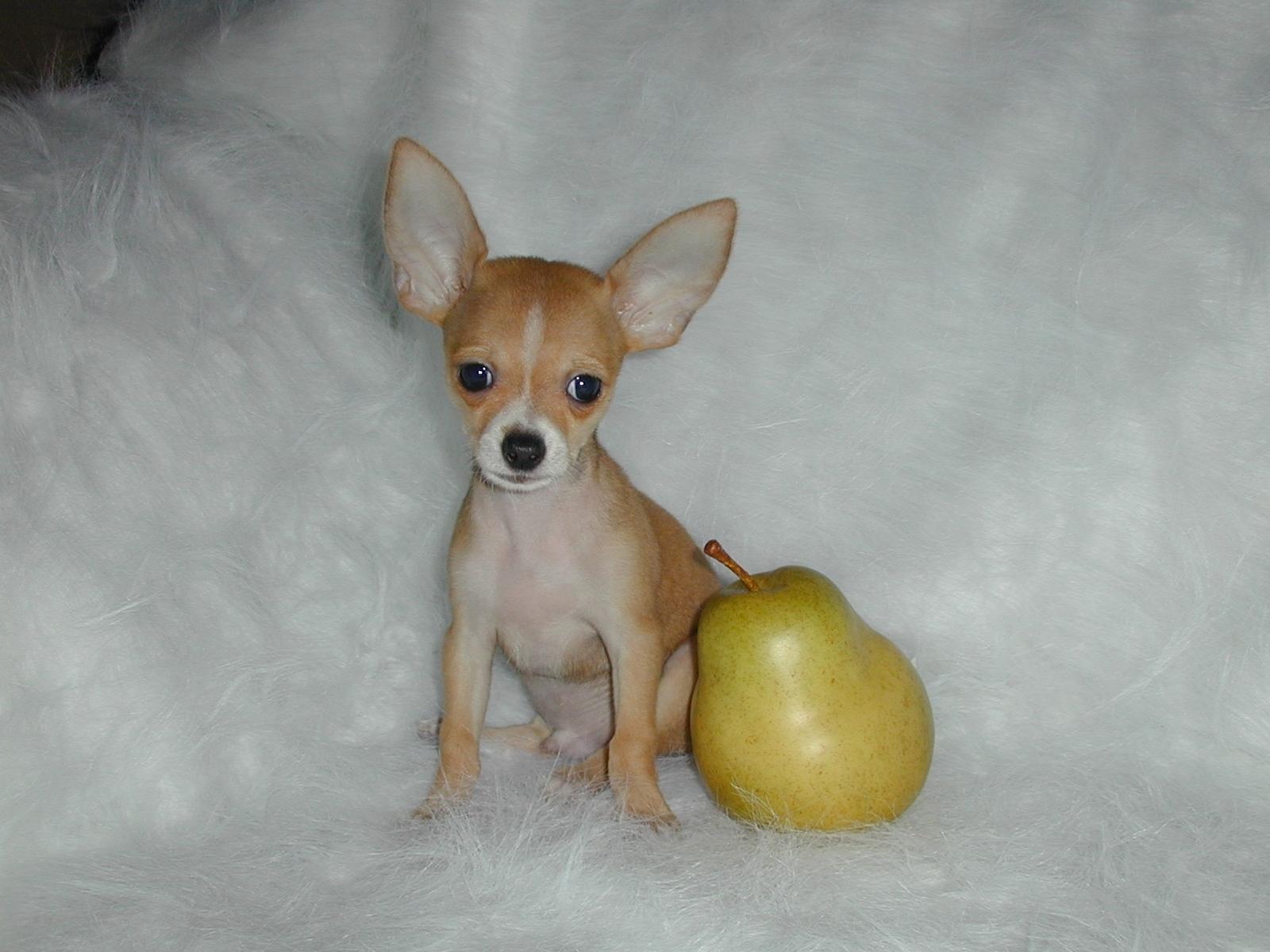Chihuahuas: pequenos cães mais agressivos que Pit Bulls