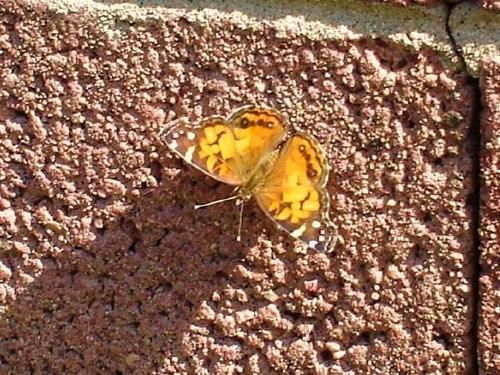 Painted Lady farfalla